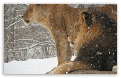 Lioness And Lion ❤ 4K UHD Wallpaper for Wide 16:10 5:3 Widescreen WHXGA WQXGA WUXGA WXGA WGA ; Standard 4:3 5:4 3:2 Fullscreen UXGA XGA SVGA QSXGA SXGA DVGA HVGA HQVGA ( Apple PowerBook G4 iPhone 4 3G 3GS iPod Touch ) ; iPad 1/2/Mini ; Mobile 4:3 5:3 3:2 5:4 - UXGA XGA SVGA WGA DVGA HVGA HQVGA ( Apple PowerBook G4 iPhone 4 3G 3GS iPod Touch ) QSXGA SXGA ;