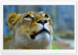 Lioness Face HD Wide Wallpaper for 4K UHD Widescreen desktop & smartphone