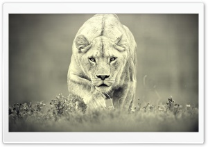 Lioness Hunting HD Wide Wallpaper for Widescreen