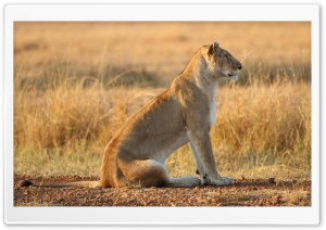 Lioness On Yellow Grass HD Wide Wallpaper for Widescreen