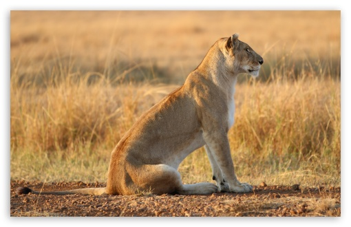 Lioness On Yellow Grass ❤ 4K UHD Wallpaper for Wide 16:10 5:3 Widescreen WHXGA WQXGA WUXGA WXGA WGA ; 4K UHD 16:9 Ultra High Definition 2160p 1440p 1080p 900p 720p ; Standard 4:3 5:4 3:2 Fullscreen UXGA XGA SVGA QSXGA SXGA DVGA HVGA HQVGA ( Apple PowerBook G4 iPhone 4 3G 3GS iPod Touch ) ; Tablet 1:1 ; iPad 1/2/Mini ; Mobile 4:3 5:3 3:2 16:9 5:4 - UXGA XGA SVGA WGA DVGA HVGA HQVGA ( Apple PowerBook G4 iPhone 4 3G 3GS iPod Touch ) 2160p 1440p 1080p 900p 720p QSXGA SXGA ;
