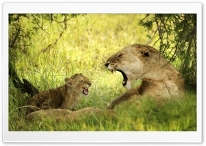 Lioness Roaring With Cub HD Wide Wallpaper for Widescreen