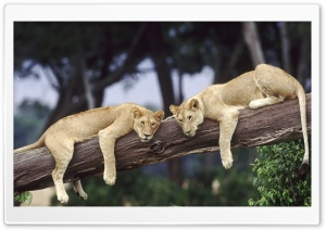 Lionesses Resting On A Fallen Tree HD Wide Wallpaper for 4K UHD Widescreen desktop & smartphone