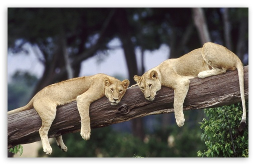 Lionesses Resting On A Fallen Tree HD wallpaper for Wide 16:10 5:3 Widescreen WHXGA WQXGA WUXGA WXGA WGA ; HD 16:9 High Definition WQHD QWXGA 1080p 900p 720p QHD nHD ; Mobile 5:3 16:9 - WGA WQHD QWXGA 1080p 900p 720p QHD nHD ;