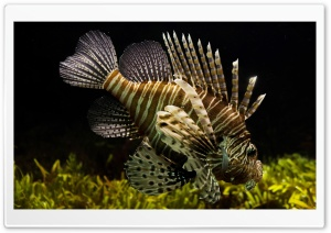 Lionfish HD Wide Wallpaper for Widescreen