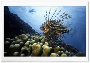 Lionfish Pacific Ocean HD Wide Wallpaper for 4K UHD Widescreen desktop & smartphone