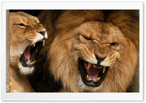 Lions Aggression HD Wide Wallpaper for Widescreen