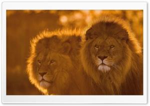 Lions, Animals, Wildlife Ultra HD Wallpaper for 4K UHD Widescreen desktop, tablet & smartphone