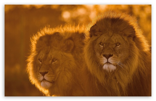 Lions, Animals, Wildlife UltraHD Wallpaper for Wide 16:10 5:3 Widescreen WHXGA WQXGA WUXGA WXGA WGA ; 8K UHD TV 16:9 Ultra High Definition 2160p 1440p 1080p 900p 720p ; UHD 16:9 2160p 1440p 1080p 900p 720p ; Standard 4:3 5:4 3:2 Fullscreen UXGA XGA SVGA QSXGA SXGA DVGA HVGA HQVGA ( Apple PowerBook G4 iPhone 4 3G 3GS iPod Touch ) ; Smartphone 16:9 3:2 5:3 2160p 1440p 1080p 900p 720p DVGA HVGA HQVGA ( Apple PowerBook G4 iPhone 4 3G 3GS iPod Touch ) WGA ; iPad 1/2/Mini ; Mobile 4:3 5:3 3:2 16:9 5:4 - UXGA XGA SVGA WGA DVGA HVGA HQVGA ( Apple PowerBook G4 iPhone 4 3G 3GS iPod Touch ) 2160p 1440p 1080p 900p 720p QSXGA SXGA ;
