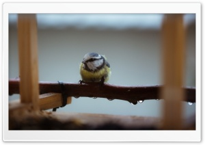 Little Bluetit HD Wide Wallpaper for Widescreen