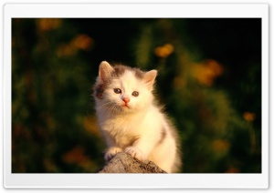 Little Cat Watching Poor HD Wide Wallpaper for 4K UHD Widescreen desktop & smartphone