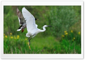 Little Egret HD Wide Wallpaper for Widescreen