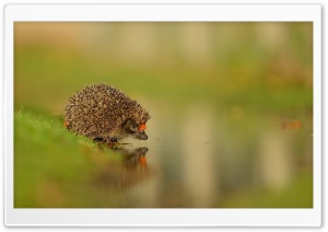 Little Hedgehog At The Water HD Wide Wallpaper for 4K UHD Widescreen desktop & smartphone