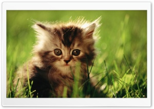 Little Kitten HD Wide Wallpaper for 4K UHD Widescreen desktop & smartphone