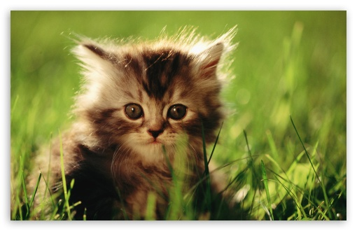 Little Kitten HD wallpaper for Wide 16:10 5:3 Widescreen WHXGA WQXGA WUXGA WXGA WGA ; HD 16:9 High Definition WQHD QWXGA 1080p 900p 720p QHD nHD ; Standard 4:3 5:4 3:2 Fullscreen UXGA XGA SVGA QSXGA SXGA DVGA HVGA HQVGA devices ( Apple PowerBook G4 iPhone 4 3G 3GS iPod Touch ) ; Tablet 1:1 ; iPad 1/2/Mini ; Mobile 4:3 5:3 3:2 16:9 5:4 - UXGA XGA SVGA WGA DVGA HVGA HQVGA devices ( Apple PowerBook G4 iPhone 4 3G 3GS iPod Touch ) WQHD QWXGA 1080p 900p 720p QHD nHD QSXGA SXGA ;