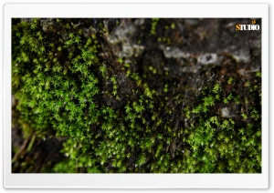 Little Moss HD Wide Wallpaper for 4K UHD Widescreen desktop & smartphone