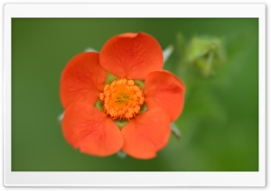 Little Orange Flower HD Wide Wallpaper for Widescreen