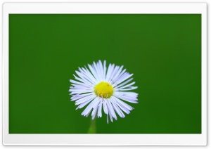 Little Wild Daisy HD Wide Wallpaper for Widescreen
