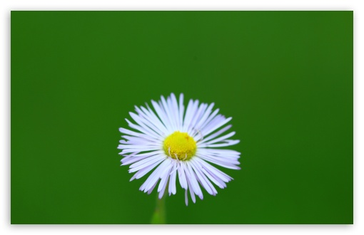 Little Wild Daisy HD wallpaper for Wide 16:10 5:3 Widescreen WHXGA WQXGA WUXGA WXGA WGA ; HD 16:9 High Definition WQHD QWXGA 1080p 900p 720p QHD nHD ; Standard 4:3 5:4 3:2 Fullscreen UXGA XGA SVGA QSXGA SXGA DVGA HVGA HQVGA devices ( Apple PowerBook G4 iPhone 4 3G 3GS iPod Touch ) ; Tablet 1:1 ; iPad 1/2/Mini ; Mobile 4:3 5:3 3:2 16:9 5:4 - UXGA XGA SVGA WGA DVGA HVGA HQVGA devices ( Apple PowerBook G4 iPhone 4 3G 3GS iPod Touch ) WQHD QWXGA 1080p 900p 720p QHD nHD QSXGA SXGA ; Dual 4:3 5:4 UXGA XGA SVGA QSXGA SXGA ;