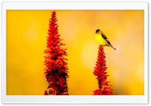 Little Yellow Bird HD Wide Wallpaper for Widescreen