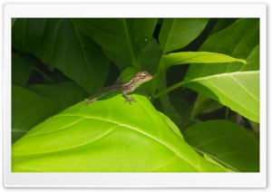 Lizard HD Wide Wallpaper for Widescreen