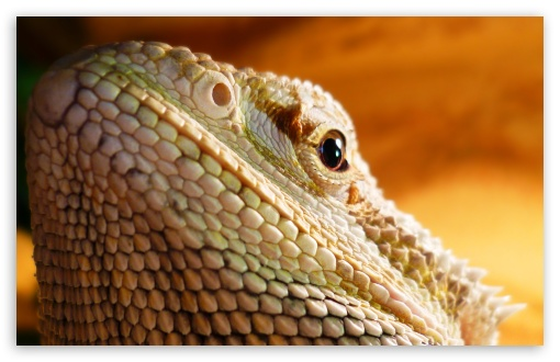 Lizard Head HD wallpaper for Wide 16:10 Widescreen WHXGA WQXGA WUXGA WXGA ; HD 16:9 High Definition WQHD QWXGA 1080p 900p 720p QHD nHD ; UHD 16:9 WQHD QWXGA 1080p 900p 720p QHD nHD ; Standard 4:3 5:4 3:2 Fullscreen UXGA XGA SVGA QSXGA SXGA DVGA HVGA HQVGA devices ( Apple PowerBook G4 iPhone 4 3G 3GS iPod Touch ) ; iPad 1/2/Mini ; Mobile 4:3 3:2 5:4 - UXGA XGA SVGA DVGA HVGA HQVGA devices ( Apple PowerBook G4 iPhone 4 3G 3GS iPod Touch ) QSXGA SXGA ;