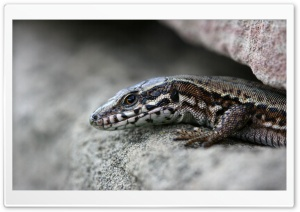 Lizard On A Rock HD Wide Wallpaper for Widescreen