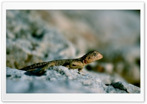 Lizard on Rock HD Wide Wallpaper for Widescreen