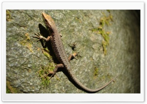 Lizard On Side Of Stone HD Wide Wallpaper for Widescreen