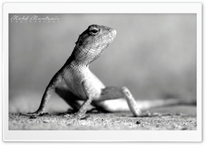 Lizard Pose HD Wide Wallpaper for Widescreen