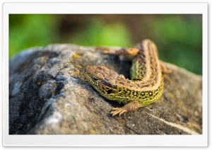 Lizzard HD Wide Wallpaper for Widescreen