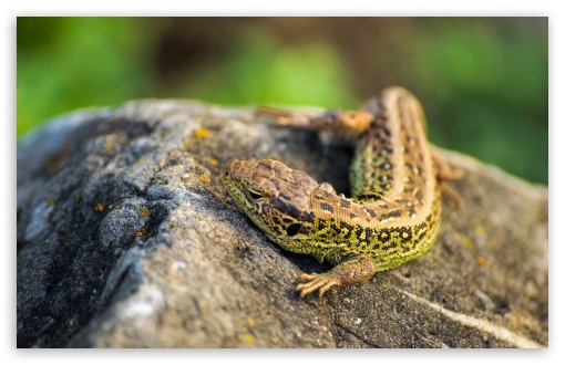 Lizzard ❤ 4K UHD Wallpaper for Wide 16:10 5:3 Widescreen WHXGA WQXGA WUXGA WXGA WGA ; 4K UHD 16:9 Ultra High Definition 2160p 1440p 1080p 900p 720p ; UHD 16:9 2160p 1440p 1080p 900p 720p ; Standard 4:3 5:4 3:2 Fullscreen UXGA XGA SVGA QSXGA SXGA DVGA HVGA HQVGA ( Apple PowerBook G4 iPhone 4 3G 3GS iPod Touch ) ; Tablet 1:1 ; iPad 1/2/Mini ; Mobile 4:3 5:3 3:2 16:9 5:4 - UXGA XGA SVGA WGA DVGA HVGA HQVGA ( Apple PowerBook G4 iPhone 4 3G 3GS iPod Touch ) 2160p 1440p 1080p 900p 720p QSXGA SXGA ; Dual 5:4 QSXGA SXGA ;