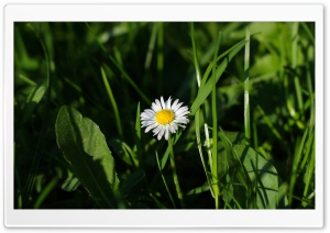 Lone Daisy HD Wide Wallpaper for Widescreen