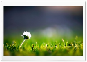 Lone Flower HD Wide Wallpaper for Widescreen
