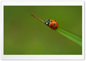 Lone Ladybird Ultra HD Wallpaper for 4K UHD Widescreen desktop, tablet & smartphone