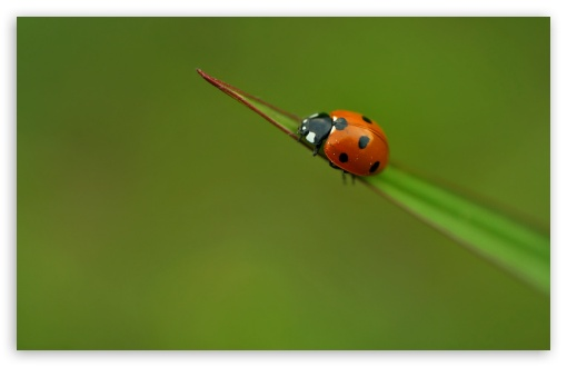 Lone Ladybird HD wallpaper for Wide 16:10 5:3 Widescreen WHXGA WQXGA WUXGA WXGA WGA ; HD 16:9 High Definition WQHD QWXGA 1080p 900p 720p QHD nHD ; Standard 4:3 5:4 3:2 Fullscreen UXGA XGA SVGA QSXGA SXGA DVGA HVGA HQVGA devices ( Apple PowerBook G4 iPhone 4 3G 3GS iPod Touch ) ; Tablet 1:1 ; iPad 1/2/Mini ; Mobile 4:3 5:3 3:2 16:9 5:4 - UXGA XGA SVGA WGA DVGA HVGA HQVGA devices ( Apple PowerBook G4 iPhone 4 3G 3GS iPod Touch ) WQHD QWXGA 1080p 900p 720p QHD nHD QSXGA SXGA ;