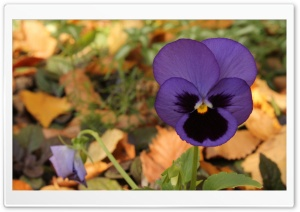 Lone Pansy Autumn HD Wide Wallpaper for Widescreen