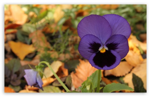 Lone Pansy Autumn ❤ 4K UHD Wallpaper for Wide 16:10 5:3 Widescreen WHXGA WQXGA WUXGA WXGA WGA ; 4K UHD 16:9 Ultra High Definition 2160p 1440p 1080p 900p 720p ; Standard 4:3 5:4 3:2 Fullscreen UXGA XGA SVGA QSXGA SXGA DVGA HVGA HQVGA ( Apple PowerBook G4 iPhone 4 3G 3GS iPod Touch ) ; Tablet 1:1 ; iPad 1/2/Mini ; Mobile 4:3 5:3 3:2 16:9 5:4 - UXGA XGA SVGA WGA DVGA HVGA HQVGA ( Apple PowerBook G4 iPhone 4 3G 3GS iPod Touch ) 2160p 1440p 1080p 900p 720p QSXGA SXGA ;