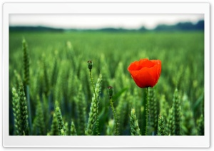Lone Poppy HD Wide Wallpaper for Widescreen