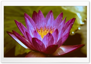Lone Water Lily HD Wide Wallpaper for Widescreen