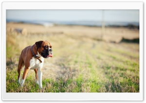 Lonely Boxer Dog HD Wide Wallpaper for Widescreen