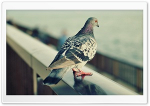 Lonely Pigeon HD Wide Wallpaper for Widescreen