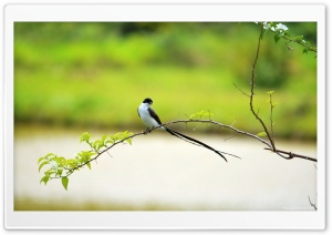Long Tailed Bird HD Wide Wallpaper for Widescreen