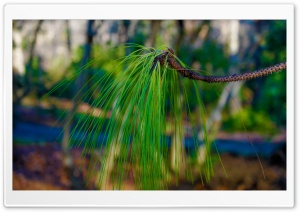 Longleaf Pine HD Wide Wallpaper for Widescreen