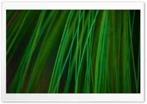 Longleaf Pine Needles HD Wide Wallpaper for Widescreen