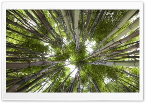 Looking Up In A Bamboo Forest HD Wide Wallpaper for 4K UHD Widescreen desktop & smartphone