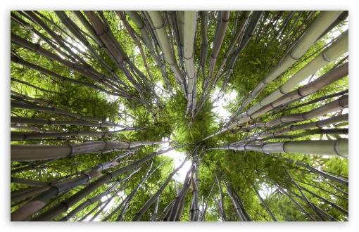 Looking Up In A Bamboo Forest ❤ 4K UHD Wallpaper for Wide 16:10 5:3 Widescreen WHXGA WQXGA WUXGA WXGA WGA ; 4K UHD 16:9 Ultra High Definition 2160p 1440p 1080p 900p 720p ; UHD 16:9 2160p 1440p 1080p 900p 720p ; Standard 4:3 5:4 3:2 Fullscreen UXGA XGA SVGA QSXGA SXGA DVGA HVGA HQVGA ( Apple PowerBook G4 iPhone 4 3G 3GS iPod Touch ) ; Tablet 1:1 ; iPad 1/2/Mini ; Mobile 4:3 5:3 3:2 16:9 5:4 - UXGA XGA SVGA WGA DVGA HVGA HQVGA ( Apple PowerBook G4 iPhone 4 3G 3GS iPod Touch ) 2160p 1440p 1080p 900p 720p QSXGA SXGA ;