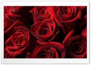 Lots of Red Roses Ultra HD Wallpaper for 4K UHD Widescreen desktop, tablet & smartphone