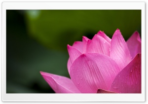 Lotus Ultra HD Wallpaper for 4K UHD Widescreen desktop, tablet & smartphone