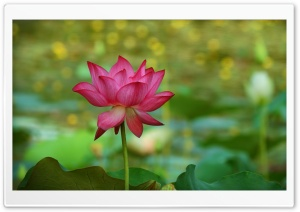 Lotus 5K Ultra HD Wallpaper for 4K UHD Widescreen desktop, tablet & smartphone